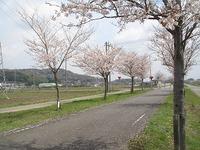 桜きれいですよ~