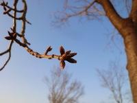 桜の花の一生 私の基準木♪