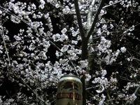 夜桜に乾杯(^_^)/□☆□\(^_^)