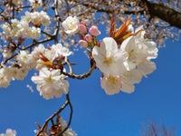 学園の杜公園の桜('ω')ノ ★4月5日★