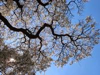 樹齢400年の垂れ桜見てきました(*^O^*)♪