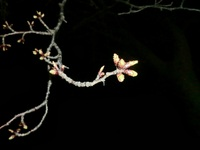 学園の杜公園の桜('ω')ノ ★3月28日★