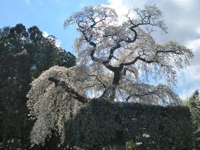 樹齢400年の垂れ桜♪