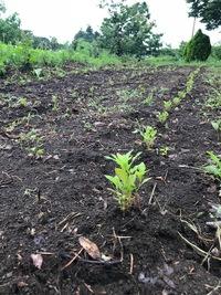 藍の苗を植え替えて初めてホット一息つく