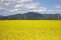 稲刈り直前の風景