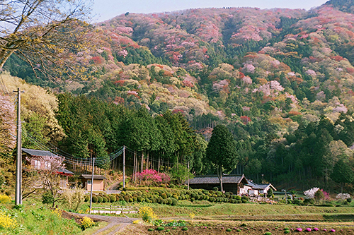 いよいよクライマックスに突入!!…2014「桜川のサクラ」