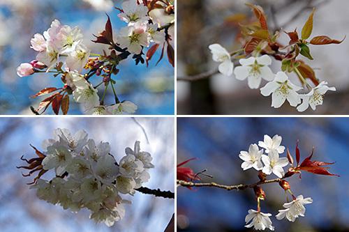 いよいよ佳境!!…2014「桜川のサクラ」これからの見どころ