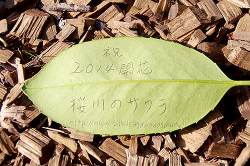2014サクラ前線…祝!!「桜川のサクラ」開花宣言