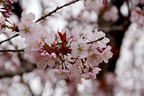 ヤマザクラの魅力…目のつけどころが芽なんです2015