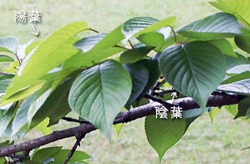 引き続き葉っぱの話「陽葉と陰葉」