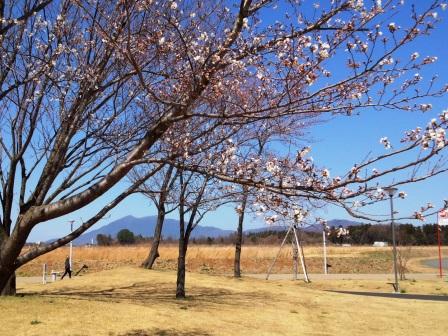 【2014年桜シリーズ】学園の杜公園の桜が咲いてきた!