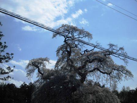 【2014年桜シリーズ】面野井の大きな枝垂桜!