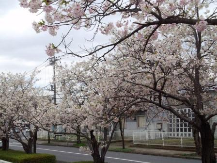 【2014年桜シリーズ】春日学園沿いの桜!