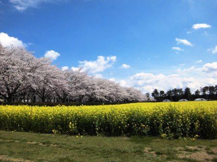 【2014年桜シリーズ】農林研究団地の桜!