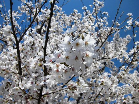 【2014年桜シリーズ】大池公園の桜と筑波山!