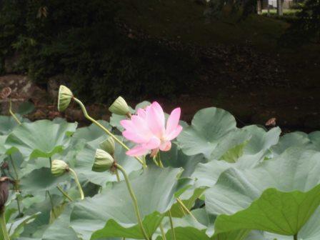 松代公園のハスの花!