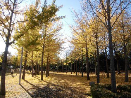 科学万博記念公園のイチョウ並木の黄葉が見頃!