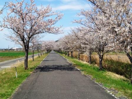 つくばりんりんロードの桜並木!