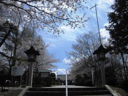 牛久沼近く千勝神社の桜!