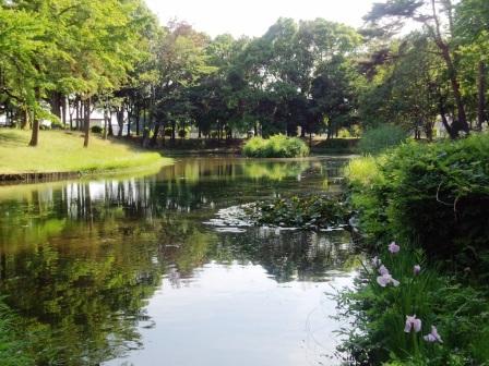 かつらぎ公園でアヤメが咲いていた!
