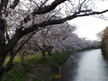 2016年春 福岡堰の桜!