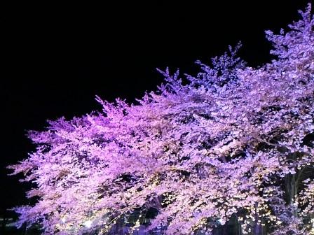 東光台のウシオライティングの夜桜ライトアップを見てきた!