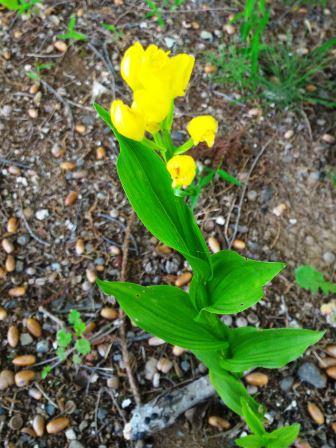 研究学園にも絶滅危惧種の花が咲いていた!