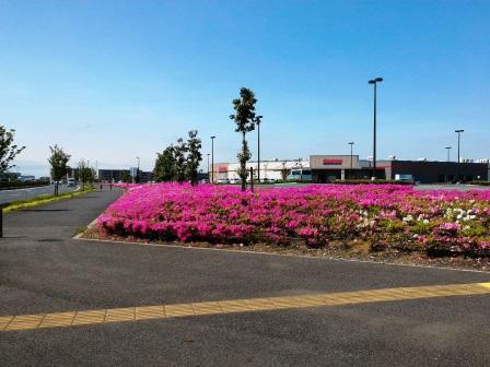 コストコ駐車場のツツジの植込みが綺麗だった!