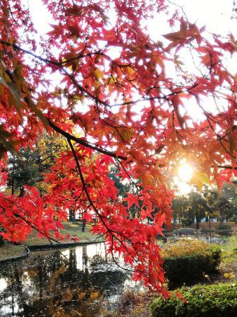 秋の夕日にかつらぎ公園の紅葉!