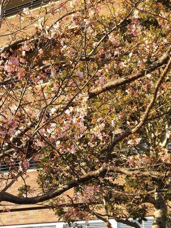 パークハウスさくらレジデンスの桜が咲き始めていた!