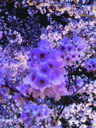 2017年春、ウシオライティングの桜ライトアップを見に行ってきた!