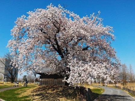 2017年春、研究学園駅前公園と葛城川調節池の桜!