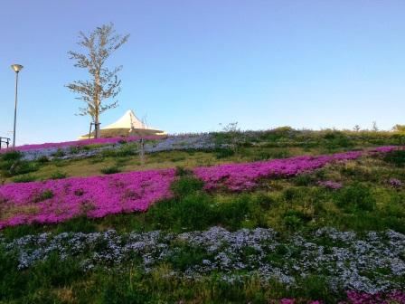 学園南公園の芝桜を見てきた!