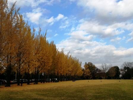 科学万博記念公園のイチョウ並木の黄葉の見頃はもう終わりそう!