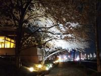 研究学園のパークハウスで桜のライトアップが始まっていた!