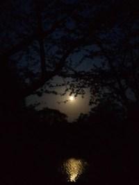 ブルームーンに照らされる福岡堰の夜桜!