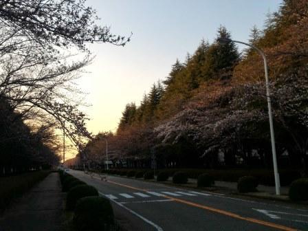 2018年春 農林研究団地の桜!