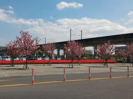 市役所敷地内の桜とツツジがきれいだった!