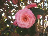 庭の椿 2015/04/09 11:23:33