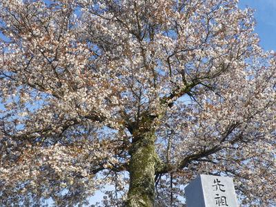 山桜と春の雪