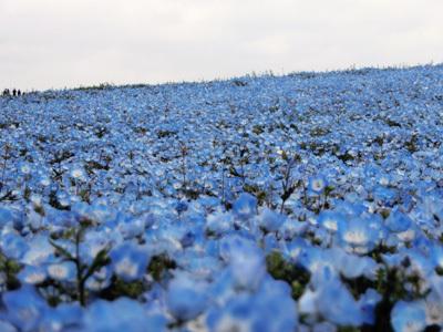 今週末もまだ見られます! 青の絨毯【ひたち海浜公園】への旅(後編)