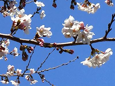 桜が咲いていました!