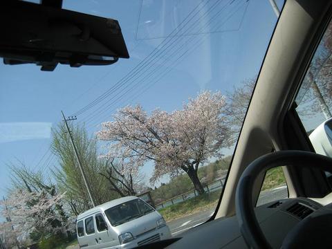 桜スポット@上野沼公園