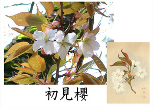 「桜川のサクラ」天然記念物指定11種その10
