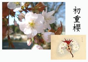 「桜川のサクラ」天然記念物指定11種その9