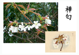 「桜川のサクラ」天然記念物指定11種その5