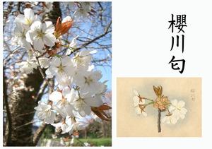 「桜川のサクラ」天然記念物指定11種その7