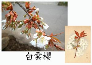 「桜川のサクラ」天然記念物指定11種その8