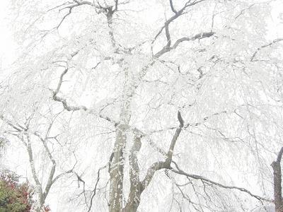 磯部の糸桜