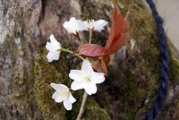 今年初めての山桜